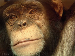 chimp2
