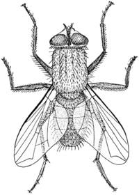 200px-Musca_illustration