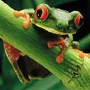 Tree-Frog-Perched